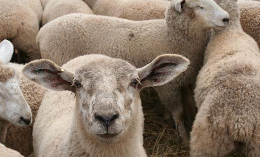 انگل های گوسفند