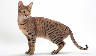 خصوصیات ظاهری گربه ساوانا
