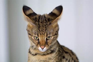 خلق و خوی گربه ساوانا