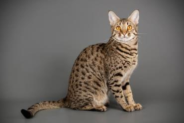 تاریخچه گربه ساوانا