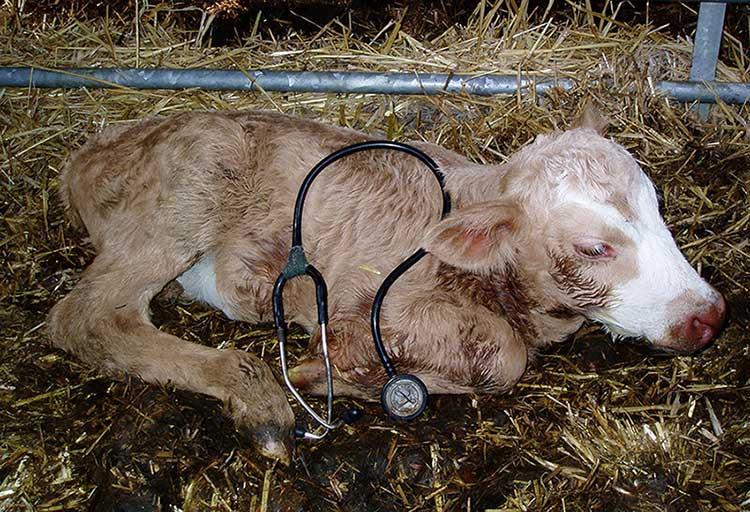 اسهال ویروسی گاوان یا BVD