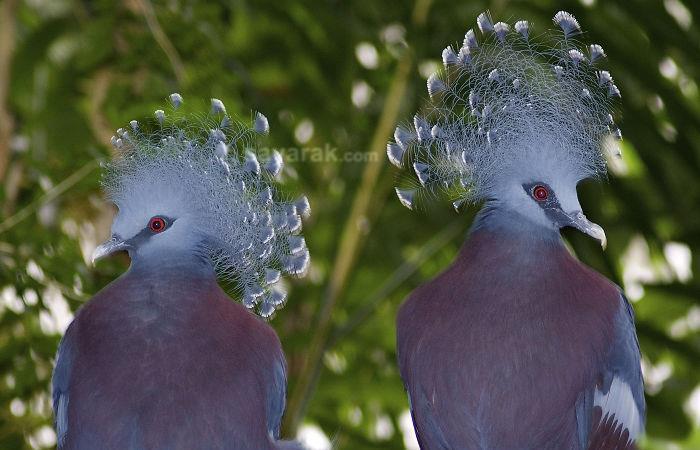 زیباترین و بزرگترین کبوتر جهان