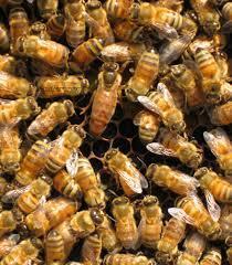 """ادعای زنبورداران مبنی بر بیکیفیتی """"داروهای وارداتی"""" مورد پذیرش نیست"""