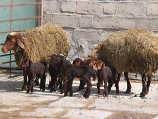 گوسفند افشاری،نژاد خالص گوسفند ایرانی
