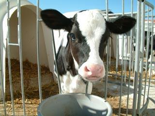 استفاده از فراوردههای میکروبی در تغذیه گوسالههای شیرخوار