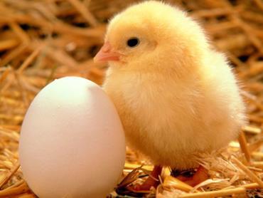 تولید، نگهداری و بهداشت تخم های جوجه کشی