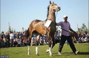 سرنوشت مبهم یکی از اصیلترین اسبهای ایرانی/ اسب کرد ناجی میخواهد