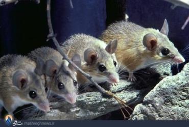 موش آفریقایی