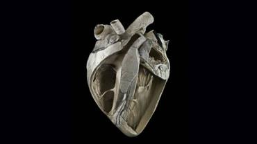 قلب گاو