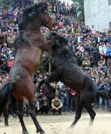 جشنواره اسبها