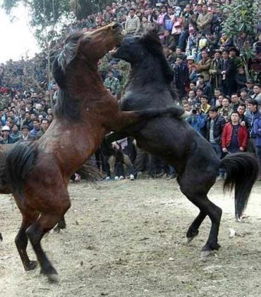 جشنواره کتک کاری اسبها