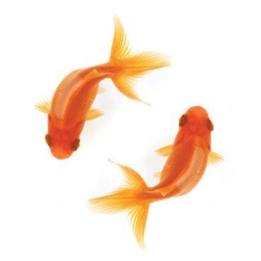 تمرکز انسانها از ماهی قرمز هم کمتر شده است - نتایج عجیب مقایسه انسان با حیوانات