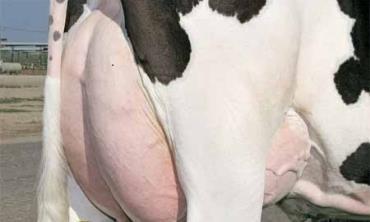 ورم پستان در گاو (mastitis)