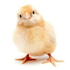 تاثیر محدودیت غذایی و برنامه نوری بر عملکرد جوجههای گوشتی