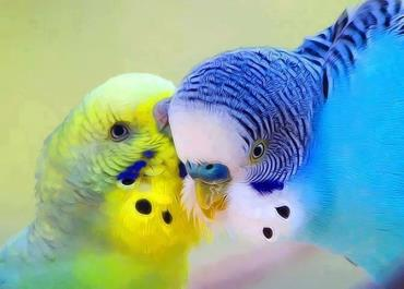 تغذیه ی مناسب در مرغ عشقها