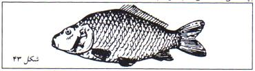در صورت استفاده از کپور ماهیان برای هر 2 مترمربع یک قطعه بچه ماهی اختصاص دهید