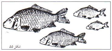 صید ماهی هایی که رشد کافی کرده اند