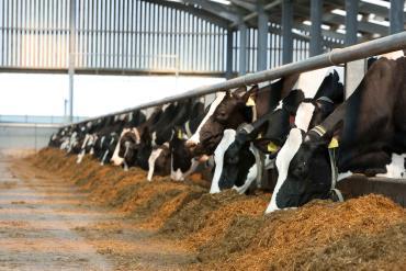 کاهش تنش حرارتی گاوهای شیری با متعادل کردن جیره و خوراک دام