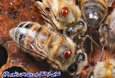 انگل زنبورعسل