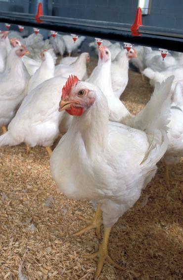 بهبود ضریب تبدیل در جوجه های گوشتی