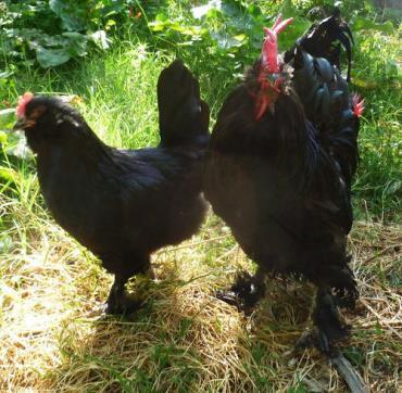 مرغ و خروس مرندی