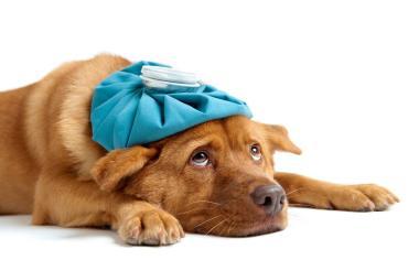 راه های مراقبت از سگ های بیمار