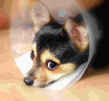گردن بند سگ بیمار