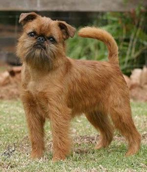نژاد سگ آفن پینچر Affenpinscher