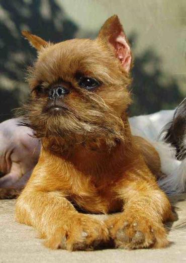 مشکلات سلامتی سگ آفن پینچر Affenpinscher