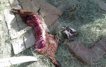 حمله یک حیوان ناشناخته به شهداد کرمان