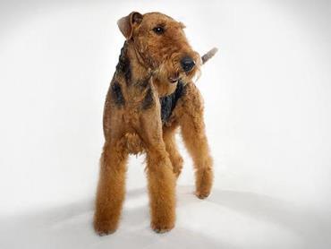 سگ آیردل تریر (Airedale Terrier)