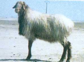 گوسفند دالاق