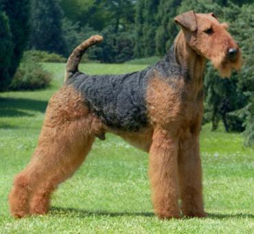 سگ آیردل تریر