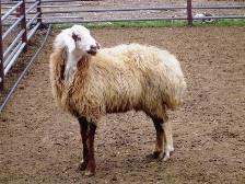 گوسفند نژاد دالاق