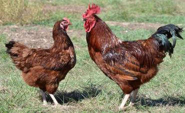 مرغ و خروس نژاد رد آیلند رد