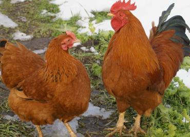 مرغ و خروس نژاد نیوهمشایر