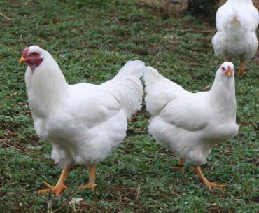 مرغ و خروس نژاد چنسلر