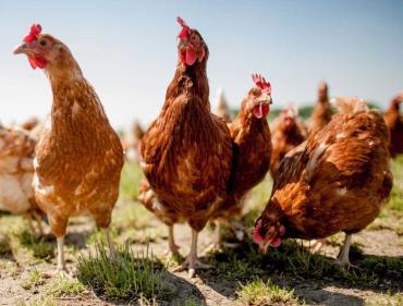 انواع نژاد مرغهای گوشتی +تصاویر