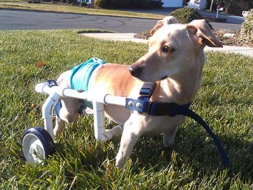 یماریهای عضلانی- اسکلتی در سگ