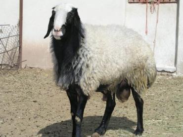 گوسفند شال
