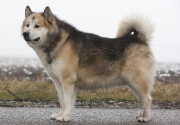 سگ گرینلند