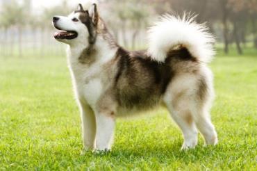 سگ اینویت کانادایی