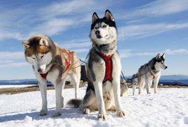 انواع سگ هاسکی