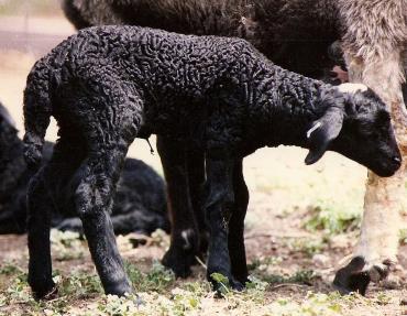 بره گوسفند قره گل سرخسی
