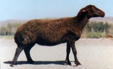 گوسفند قزل