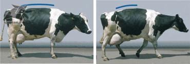 لنگش و حالت راه رفتن گاو