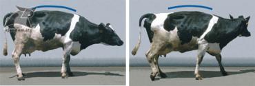 سیستم حرکتی در لنگش گاو