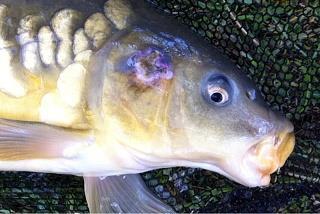 بیماری ماهیان گرمابی