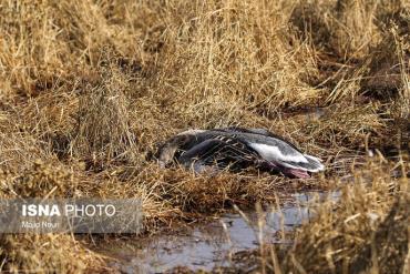 مرگ پرندگان تالاب میقان