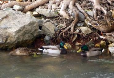 تایید ابتلای پرندگان وحشی مهاجر در تالاب میانکاله بهشهر به آنفلوآنزای فوقحاد پرندگان
